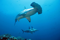 scalloped hammerhead sharks, Sphyrna lewini, Galapagos Islands, Ecuador, East Pacific Ocean