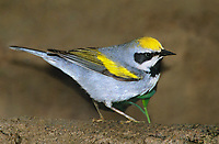 591890001 a wild male golden-winged warbler vermivora chrysoptera forages along the ground in the rio grande valley of south texas