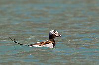 A male long-tailed duck (formerly and old squaw) swims in the aqua water of Nellie Juan Lagoon in Prince William Sound
