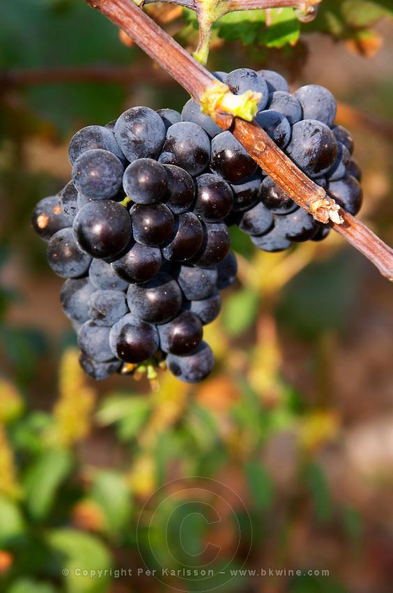 A Counoise grape bunch on a branch of vine. Chateau de Beaucastel, Domaines Perrin, Courthézon Courthezon Vaucluse France Europe