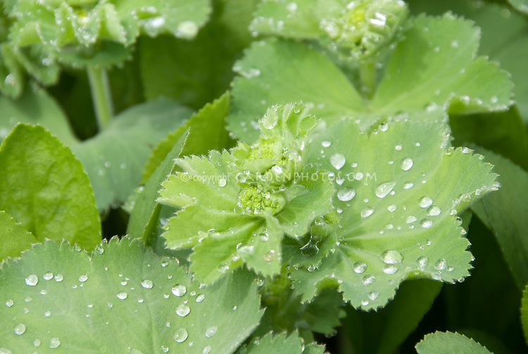Rain or dew drops on Alchemilla mollis foliage
