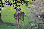 Young blacktailed deer, Olympia, Washington
