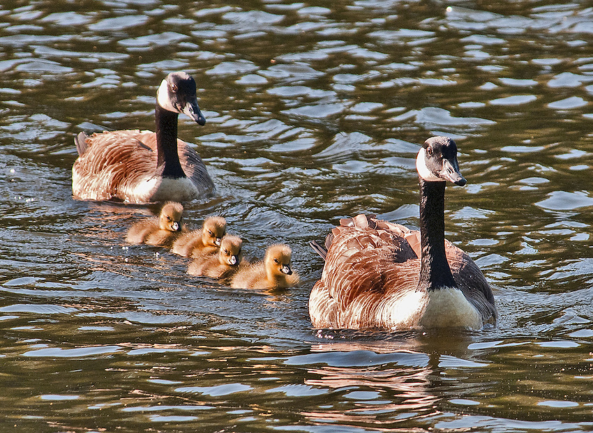 Family of Canada geese, swimming on pond