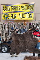 Alaska Trappers Association fur auction held in downtown Fairbanks, Alaska.