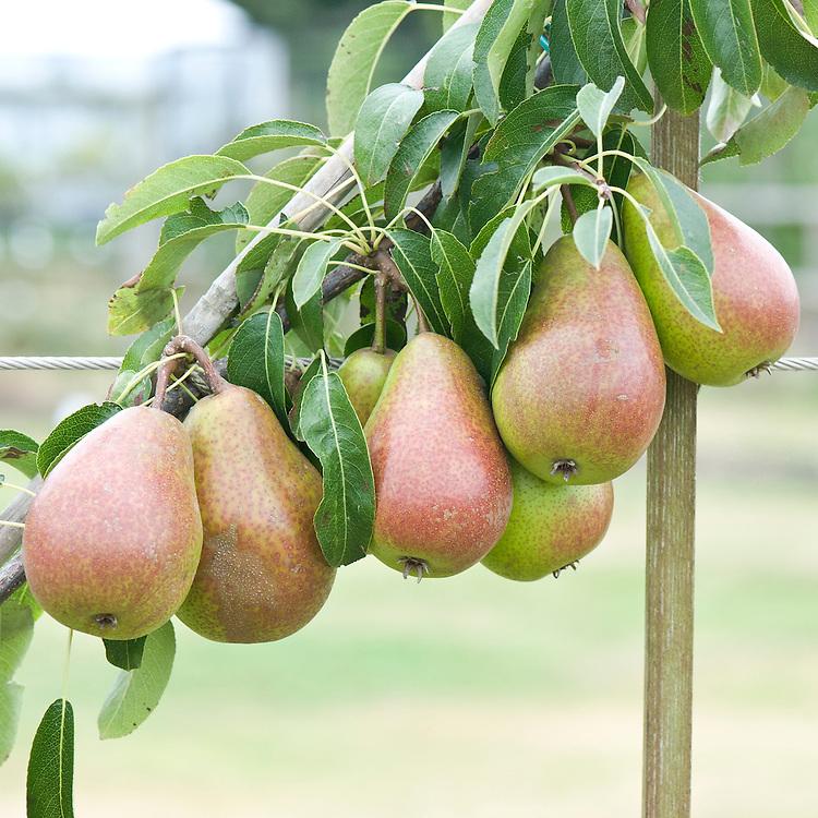 Pear 'Louise Bonne of Jersey', early September.