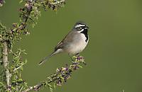 Black-throated Sparrow, Amphispiza bilineata, adult on blooming Guayacan (Guaiacum angustifolium), Starr County, Rio Grande Valley, Texas, USA, April 2002