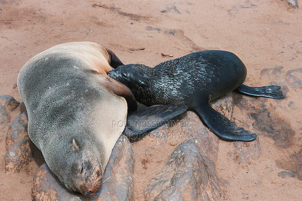 Brown Fur Seal (Arctocephalus pusillus), mother with suckling newborn, Cape Cross, Namibia, Africa