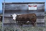 hereford cattle in Santa Rosa, CA