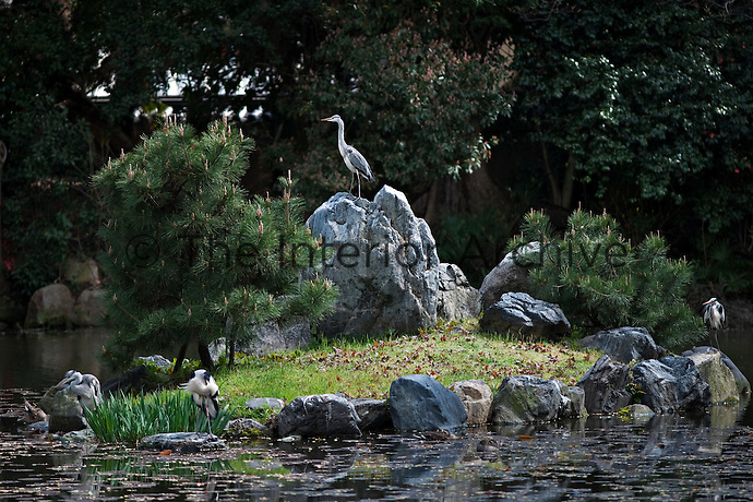 Herons stand on stones around the small island in the centre of the heron pond at Shosei-en