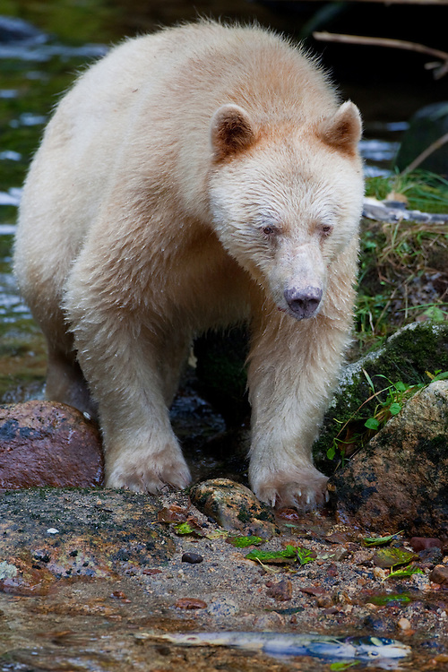 "Kermode ""Spirit"" Bear standing on a rock in a river"