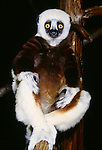 Coquerel's Sifaka, indigenous to Madagascar. (captive)