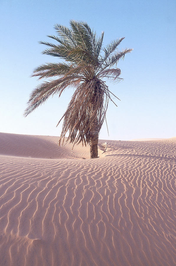 Palmier menacé par les sables dans les dunes de l'Amatlich. Mauritanie. Afrique. Palm tree which is threatening by the advance of the dunes of the Amatlich. Mauritania. Africa