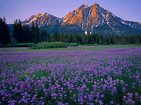Sawtooth National Recreation Area, ID<br /> Sunrise light on the peaks of Mount McGown froma large meadow of Rydberg's penstemon (Penstemon rydbergii)