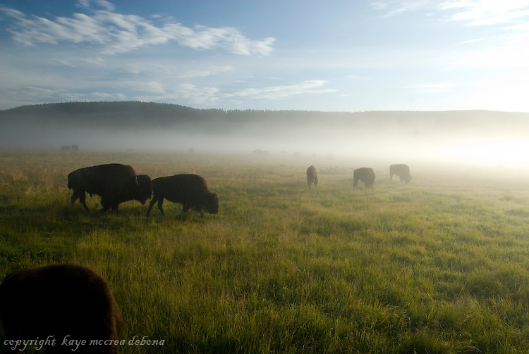 Bison in early morning mist
