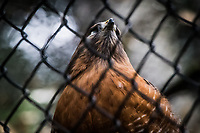 Chain link fence protects a forlorn Red-shouldered hawk, recovering at the Sulphur Creek Nature Center, Hayward, California.