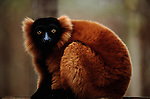 The red-ruffed lemurs are my favorite primates to photograph. Their gentle nature makes them a delight to capture on film, This one on the Masoala Peninsula of Madagascar sat and quietly watched me as i worked.