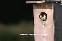 00715-036.15 Wood Duck (Aix sponsa) ducklings leaving nest box Marion Co.   IL