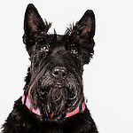 20140719 Scottish Terrier Lucy