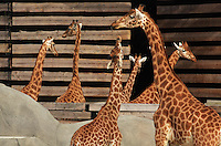 West African giraffes (Giraffa camelopardalis) in their new outdoor enclosure in the Zone Sahel-Soudan at the new Parc Zoologique de Paris or Zoo de Vincennes, (Zoological Gardens of Paris or Vincennes Zoo), which reopened April 2014, part of the Musee National d'Histoire Naturelle (National Museum of Natural History), 12th arrondissement, Paris, France. Picture by Manuel Cohen