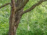 Birch trees at the Arnold Arboretum in the Jamaica Plain neighborhood, Boston, Massachusetts, USA