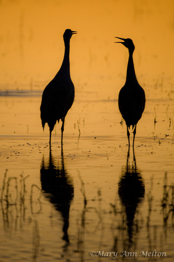 A Pair of Sandhill cranes, Grus canadensis, sunset, Bosque del Apache National Wildlife Refuge
