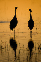 A Pair of Sandhill cranes, Grus canadensis, sunset, Bosque del Apache National Wildlife Refuge