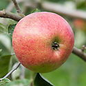 "Apple 'Hofingers Himbeerapfel', mid September. ""Dessert, November to March, rather large, round, slightly rounded to eye. Colour, pale yellow, shaded nearlly all over with rich carmine, approaching 'Gascoynes Seedling' in colour. Flesh, greenish-white, slight musky flavour. Eye, closed, in a very deep and slightly irregular basin. Stem, short <br /> and stout, in a moderately deep cavity, rather irregular in shape. Growth, compact, upright spreading. Leaf, <br /> upheld and upfolded, regularly crenate. Origin, found by Liegel in the Rev. Hofinger's garden, at St. Peters, Brunau, before 1851. Of no merit except for its lovely colour."" (A HANDBOOK OF HARDY FRUITS MORE COMMONLY GROWN IN <br /> GREAT BRITAIN, APPLES AND PEARS BY EDWARD A. BUNYARD, F.L.S., LONDON, JOHN MURRAY, ALBEMARLE STREET,1920)"