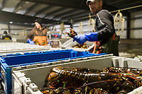 Sean Eason, 38, (right) and Matt Parker, 19, sort live lobsters by size and weight at Island Seafood's receiving facility in Eliot, Maine, USA, on Wed., Jan. 31, 2018. Lobsters are sorted into similar sizes and then moved to a packing facility to be shipped to customers around the world.