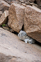 Collared pika hides among the boulder rubble on Polychrome pass, Denali National Park, Interior, Alaska.