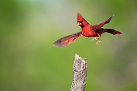 northern cardinal, Cardinalis cardinalis, male landing, Sinton, Corpus Christi, Coastal Bend, Texas, USA, North America