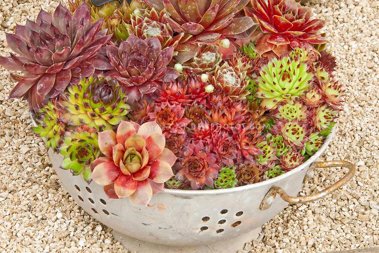 Sempervivum Plants in cute colander container