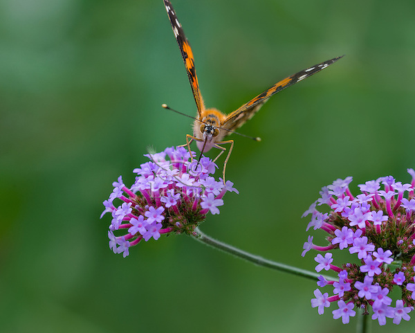 Painted Lady Butterfly (Vanessa cardui) feeding in flower garden.  Oregon.  July.