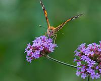 Painted Lady Butterfly (Vanessa cardui) feeding in flower garden.  Oregon.  July.