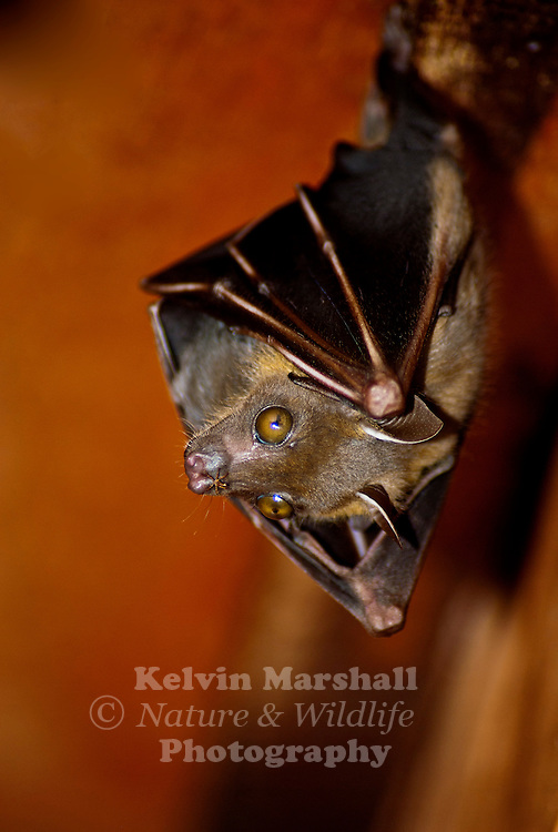 The Lesser Short-nosed Fruit Bat (Cynopterus brachyotis) is a species of bat within the Pteropodidae family. It is a small bat that weighs between 21 and 32 grams (0.74 and 1.1 oz) that occurs in most habitats (but most frequently in disturbed forest) including lower montane forest, tropical lowland rainforest, gardens, mangroves, and vegetation on beaches.
