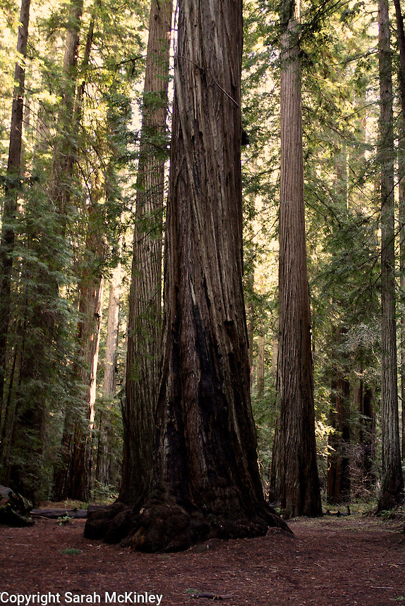 A redwood tree with a charred base and bark twisting around its trunk rises from the forest floor of Montgomery Woods above Ukiah in Mendocino County in Northern California.