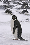 Adelie Penguin looks directly at camera in the background adelie penguins on lay on eggs during a storm.
