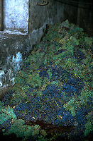 Crushing grapes in a for wine in the south of Tenerife. Tenerife, Canary Islands, Spain