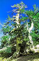 ANCIENT LIMBER PINE ON NELSON RIDGE SAN GORGONIO WILDERNESS