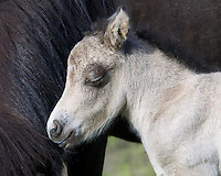 A newborn miniature donkey basks in the comfort of its mother.  Summit County, Utah.
