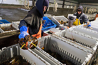 Mat Brake, 39, (left) and Sopheap Mom, 33, sort live lobsters at Island Seafood's receiving facility in Eliot, Maine, USA, on Wed., Jan. 31, 2018. Brake has been working at Island Seafood for almost 12 years. Lobsters are sorted into similar sizes and then moved to a packing facility to be shipped to customers around the world.