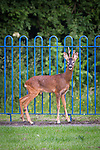 "© Joel Goodman - 07973 332324 . Stockport , UK . The deer stands by the edge of the playground . A wild deer which was discovered in a park by the busy Manchester Road in Stockport has been rescued after three days . The park was closed and locked by Stockport Council officials on Monday 24th June after the young male started bolting across the playing field and playground and butting its head and antlers against railings . But with the gates locked , the young animal could not escape . For three days local people came out to watch the deer from the fence as it hid in bushes around the edge of the park , occasionally venturing out across the playing pitch and in the direction of the busy A626 road . The landlord at "" The Hind's Head "" pub opposite , Stuart Kirkham , a Manchester United fan , named the beast "" Ronaldo "" because of its red colouring . After three days , with no hope of escape under its own steam and with the park still closed , the RSPCA and council brought in a veterinary surgeon to help . The animal was tranquilised and driven to nearby Reddish Vale Country Park , where he was brought round and released back in to the wild . Photo credit : Joel Goodman"