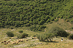 Israel, Lower Galilee. A flock of sheep on Tel Yodfat