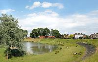 Nederland Nieuwpoort 2017. Schapen bij Nieuwpoort, Zuid-Holland. Nieuwpoort is een kleine Vestingstad.  Foto Berlinda van Dam / Hollandse Hoogte