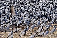 5_India_Khichan_Wildlife_Demoiselle cranes
