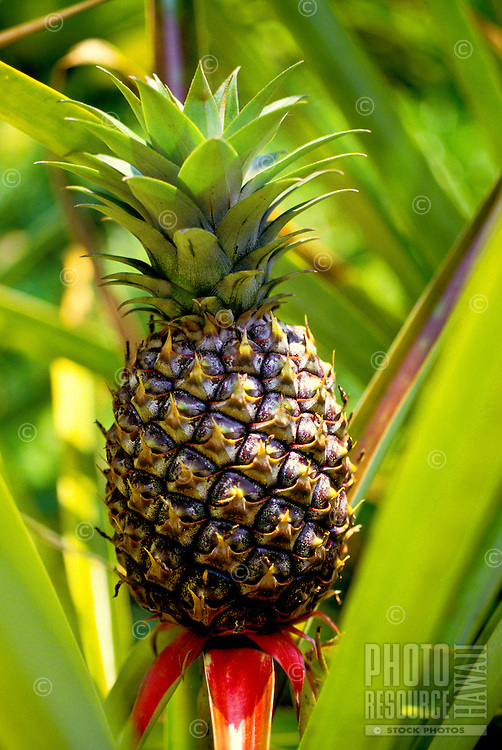 Perfect pineapple growing from the ground surrounded by pineapple leaves on Oahu