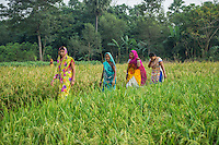 Vegetable farmers walk through wheat fields in Machahi village, Muzaffarpur, Bihar, India on October 26th, 2016. Non-profit organisation Technoserve works with women vegetable farmers in Muzaffarpur, providing technical support in forward linkage, streamlining their business models and linking them directly to an international market through Electronic Trading Platforms. Photograph by Suzanne Lee for Technoserve
