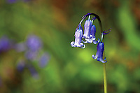 Bluebell, Sallochy Woods, Loch Lomond and the Trossachs National Park