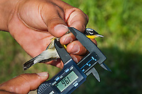 Magnolia Warber (Dendroica magnolia) being measured during spring bird banding at Ottawa National Wildlife Refuge, Lake Erie, Ohio. USA.