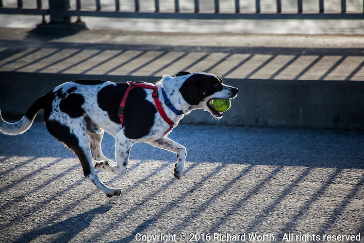 A dog, running with a tennis ball in its mouth, is airborne - all four feet off the ground.