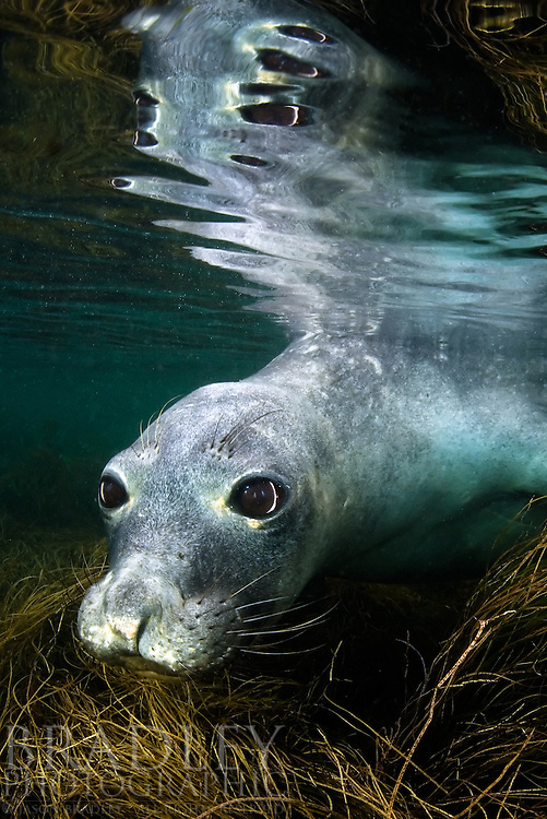 This is a rare shot of a female northern elephant seal underwater.  It's easy and common to see these guys on land, but they forage far off shore in the deep water so capturing them wet is challenging.  I was able to shoot this curious female while tagging along with a few biologists to the remote San Benito Islands off of Baja Mexico.  Of course I wanted to go to follow and document the tagging research the scientists were doing, but I had a alterior motive.  I knew these islands had a set of shallow lagoons near some of the seal haul out sites, and they were ideal for trying to capture some underwater elephants.  After some patience and a good dose of luck, I was able to pull this off.  I had spent a couple of full days and several hourse in the water, but was  only able to get few shots.  I hope to be able to try this again.  Fun!